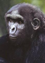 sahelanthropus's Bild